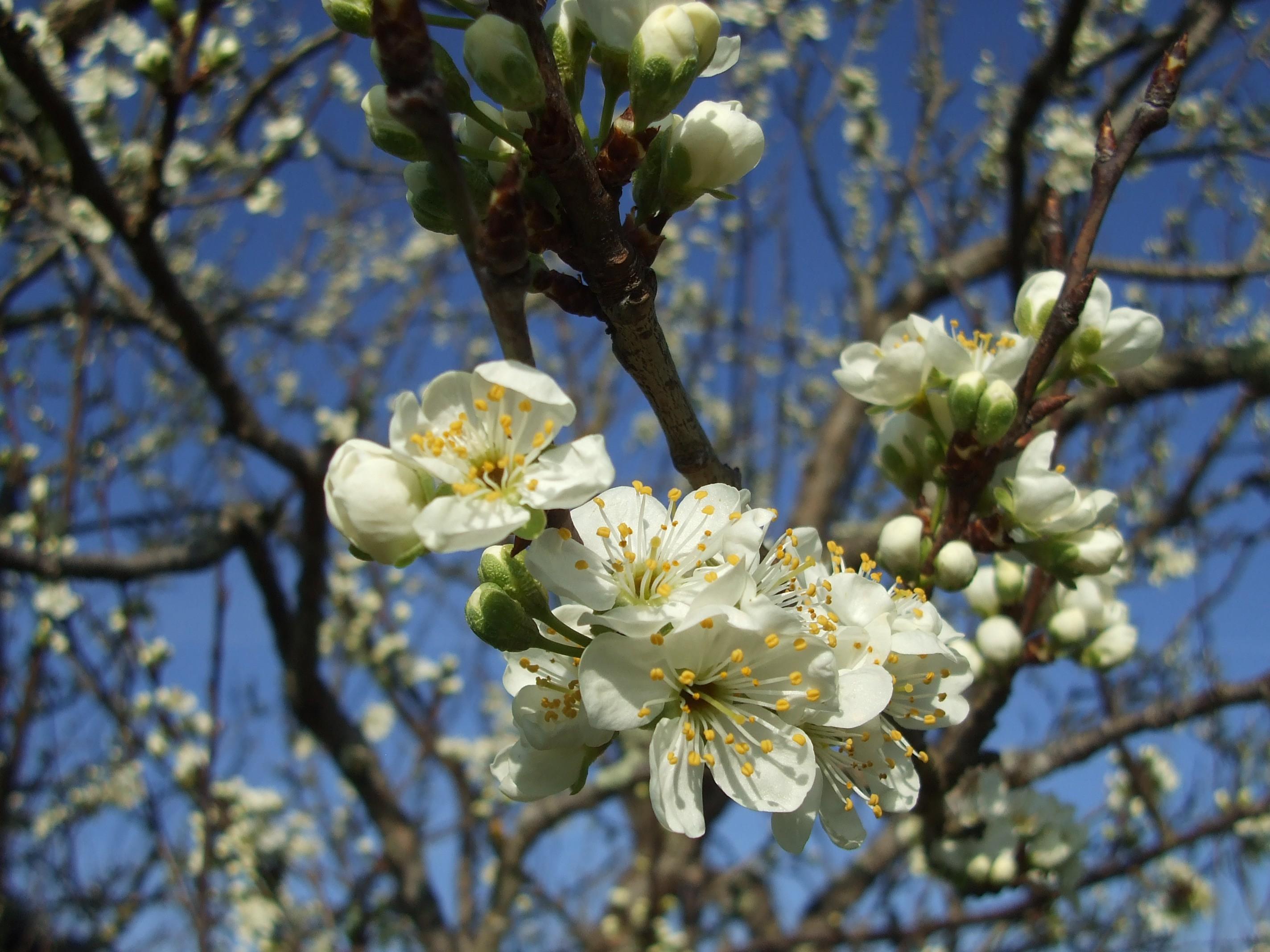fleurs de Reine Claudiers