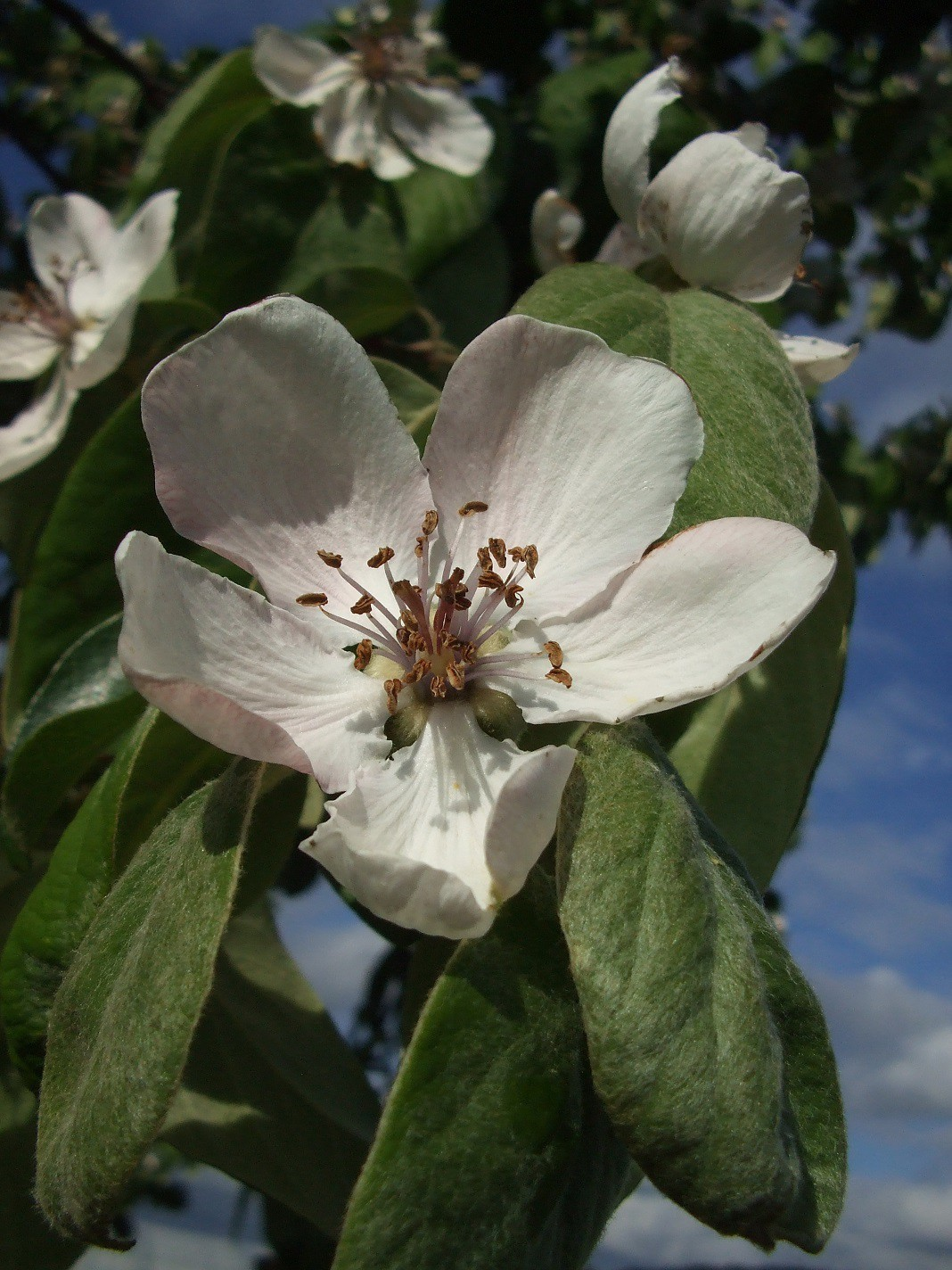 fleur de cognassier (coing)