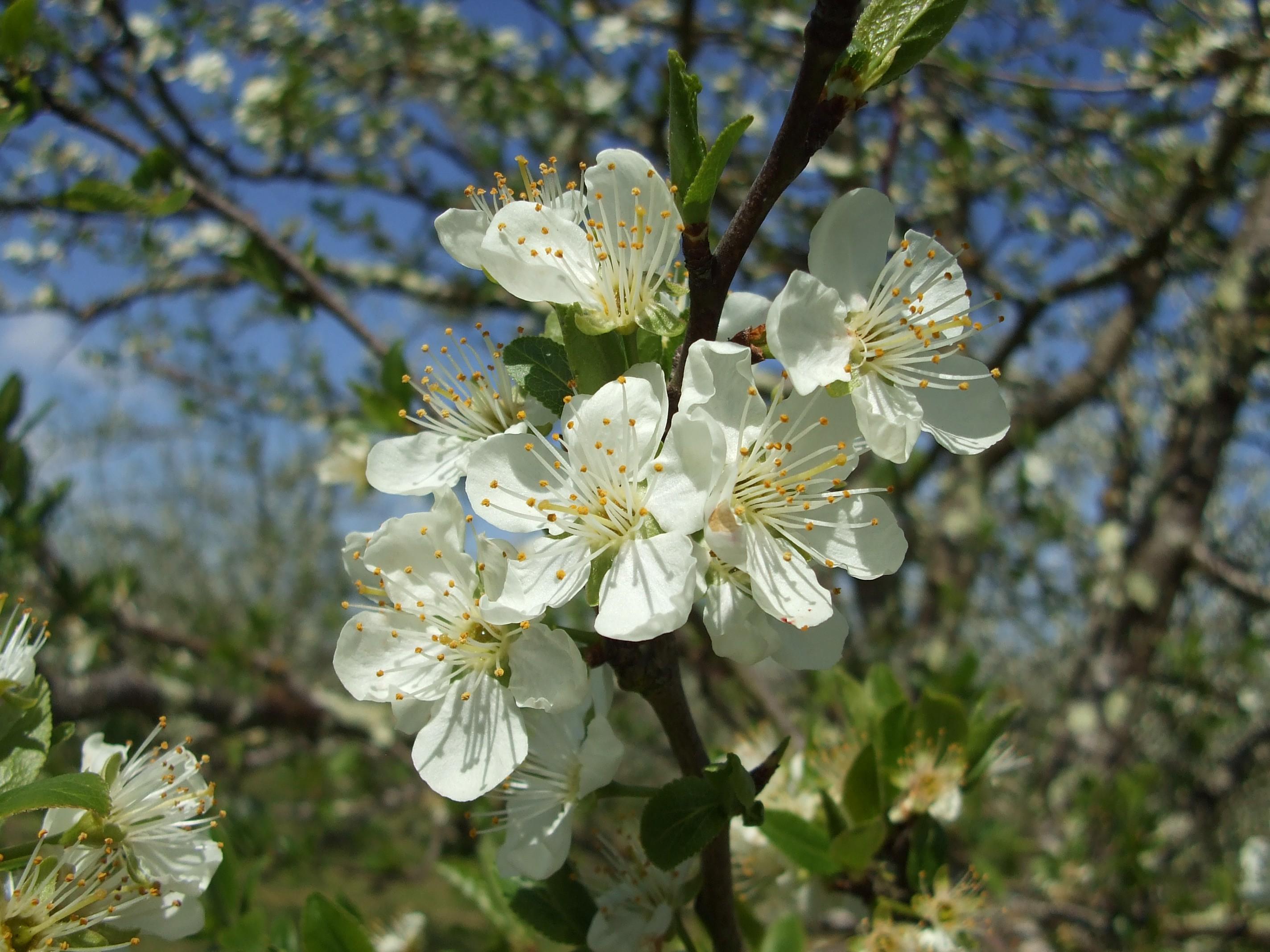 fleurs de pruniers d'Ente